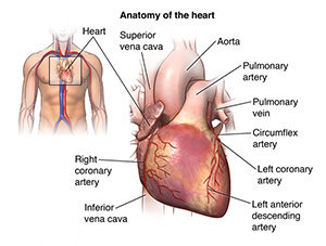 Illustration showing anatomy of the heart and area of body where the heart is located.